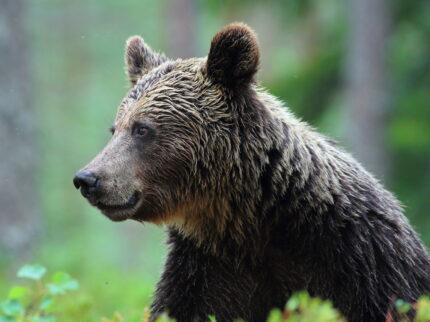 La danza dell'orso